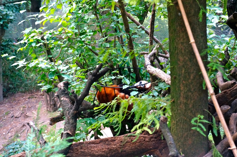 ^^ This little guy -- a Red Panda -- was sleeping so peacefully in the basket.