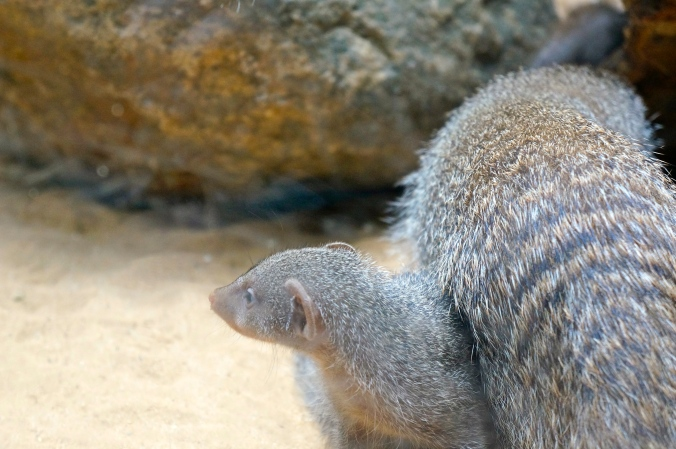 ^This little mongoose baby was getting some attention from his mom the whole time I was there. So cute!