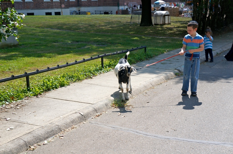 ^^ A boy walking a goat. You certainly don't see that every day.