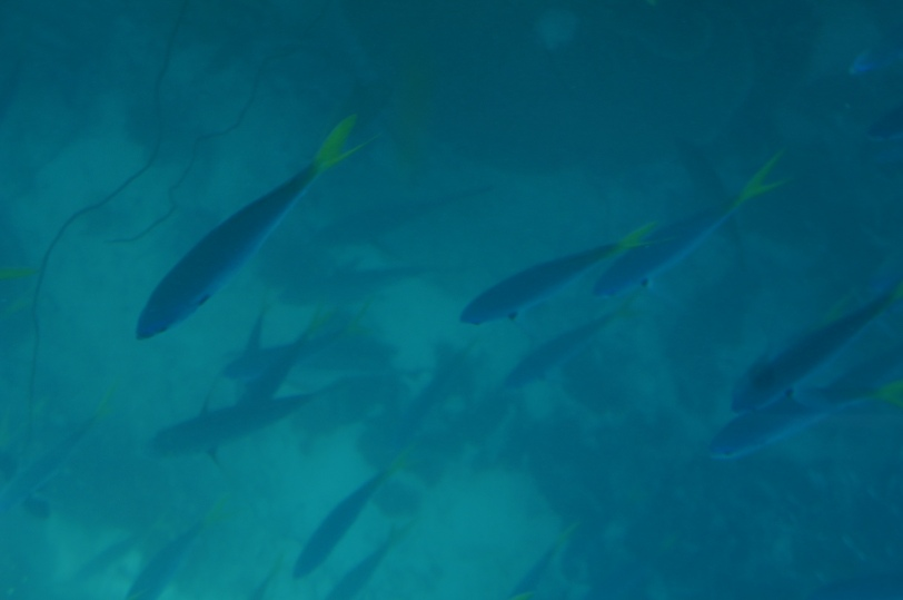^^ Fish at the Reef, as seen from the glass bottom boat ride.
