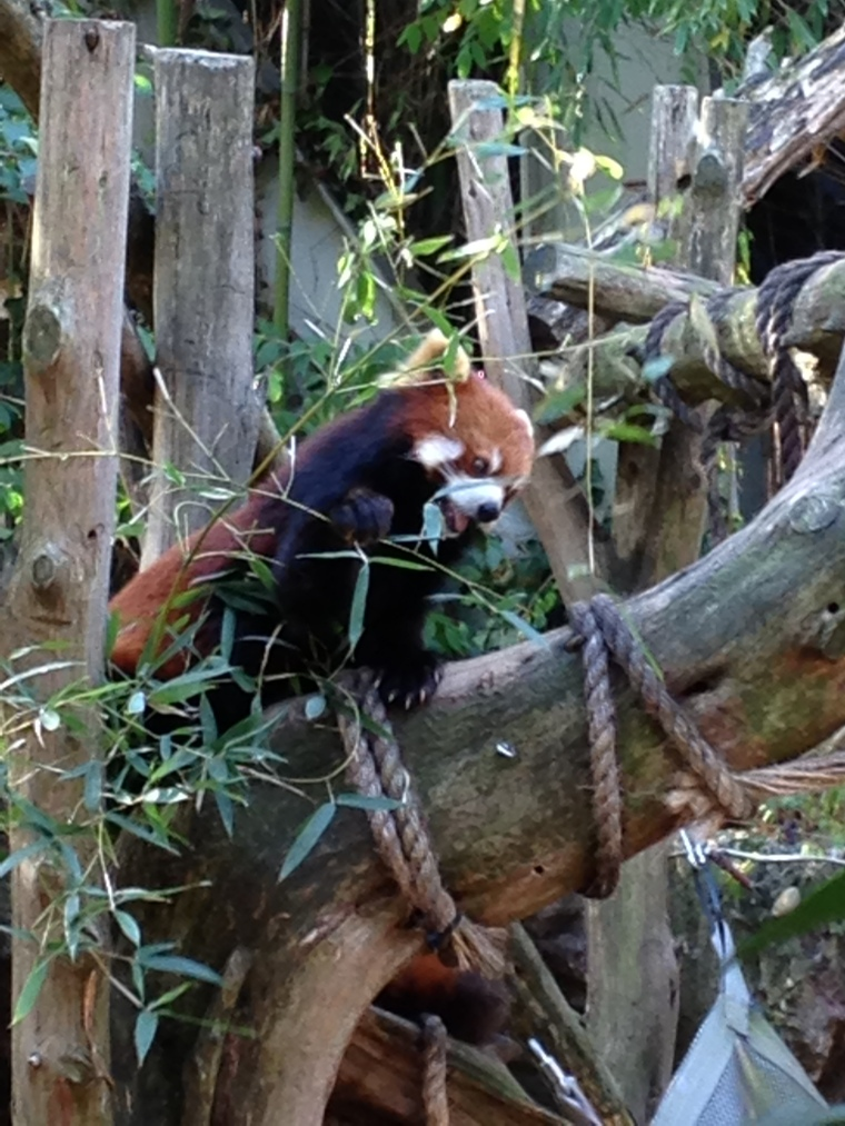 ^^ This little guy is a Red Panda, and she'll be making an appearance in my children's book very soon!