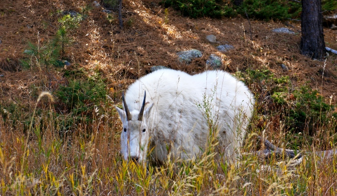 05_MountainGoat